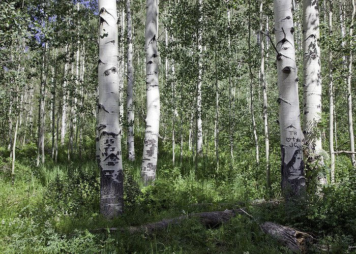 Trees Greeting Card featuring the photograph Forever Aspen Trees by Madeline Ellis