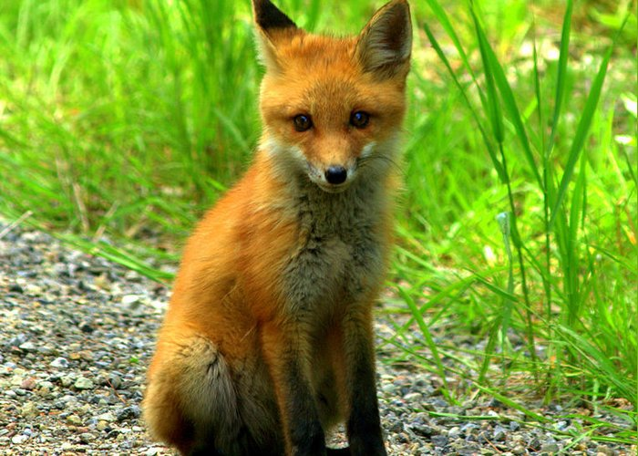 Fox Greeting Card featuring the photograph Fox Pup by Rusty Enderle