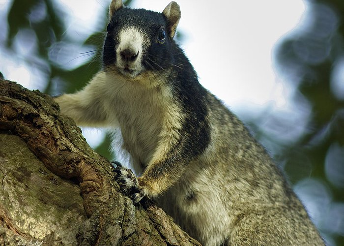 Beaufort County Greeting Card featuring the photograph Fox Squirrel by Phill Doherty