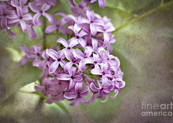 Lilac Greeting Card featuring the photograph Fragrant Purple Lilac by Cheryl Davis