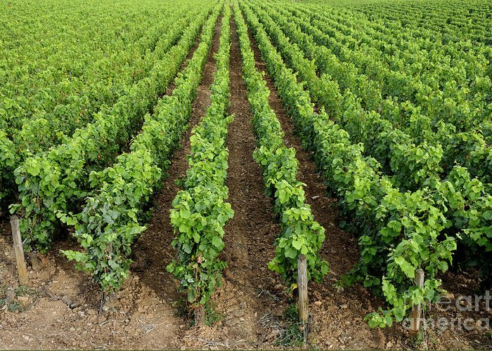 Agriculture Greeting Card featuring the photograph French Vineyard by Bernard Jaubert