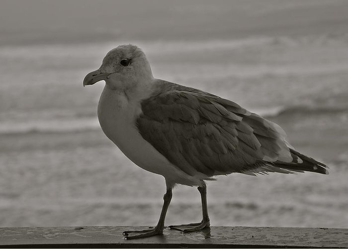 Seagull Greeting Card featuring the photograph Friendly Gull by Eric Tressler