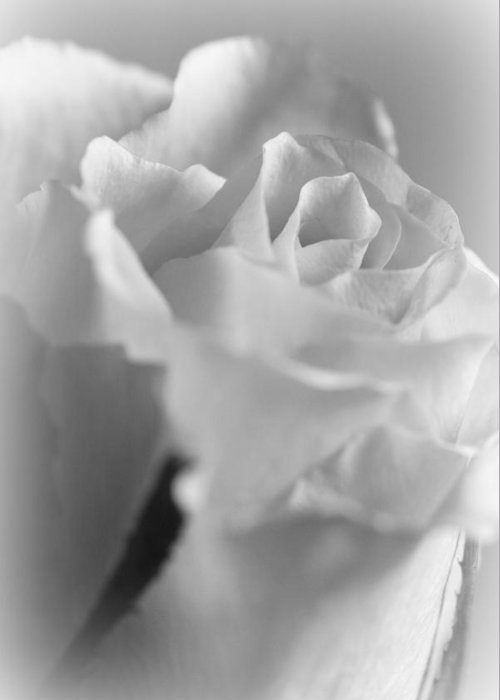 Rose Greeting Card featuring the photograph Friendship Rose In Black And White by Mark J Seefeldt