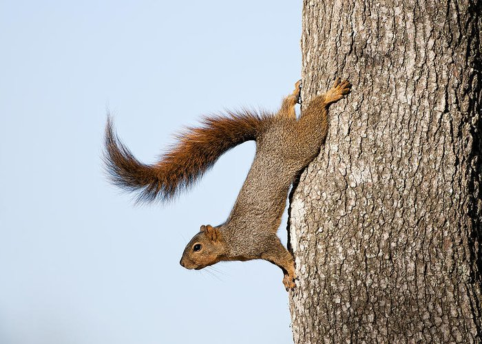 Squirrel Greeting Card featuring the photograph Frisky Little Squirrel With A Twirly Tail by Bonnie Barry