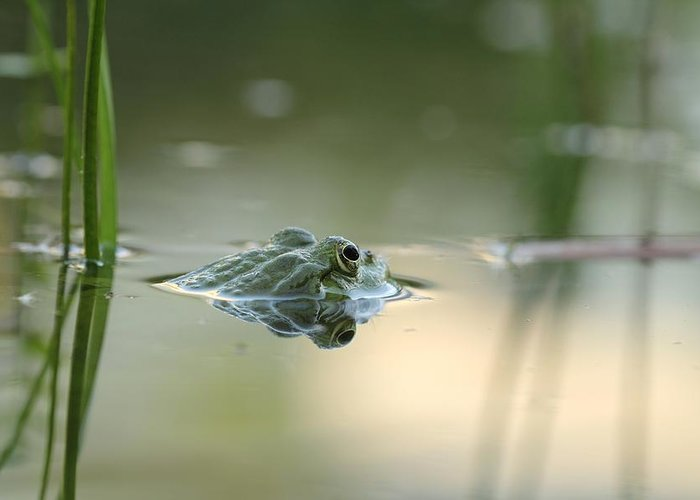Frog Hunting For Bugs In An Lake In Austria Greeting Card featuring the photograph Frog Hunting Bugs by Kent Andersen