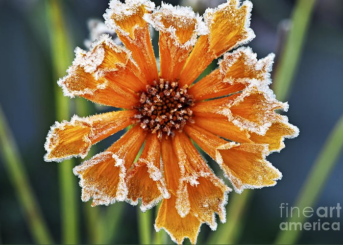 Flower Greeting Card featuring the photograph Frosty Flower by Elena Elisseeva