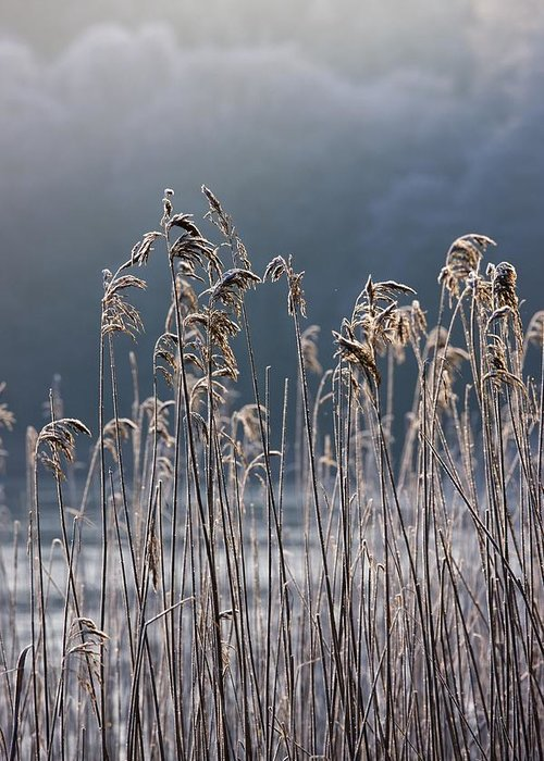 Cold Temperature Greeting Card featuring the photograph Frozen Reeds At The Shore Of A Lake by John Short
