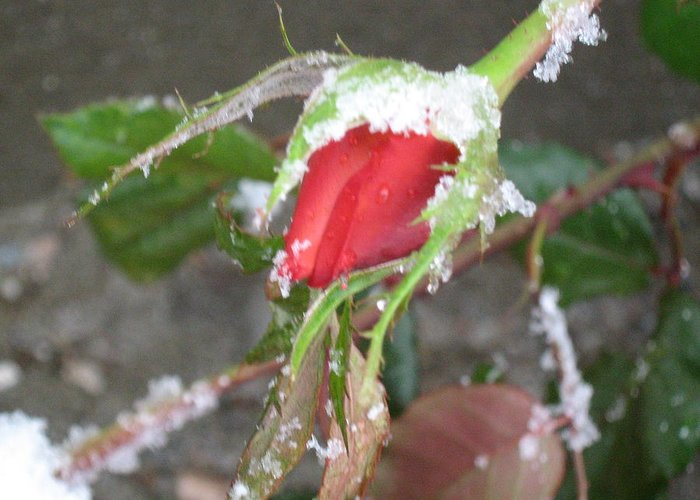 Rose Greeting Card featuring the photograph Frozen Rosebud by Neena Plant