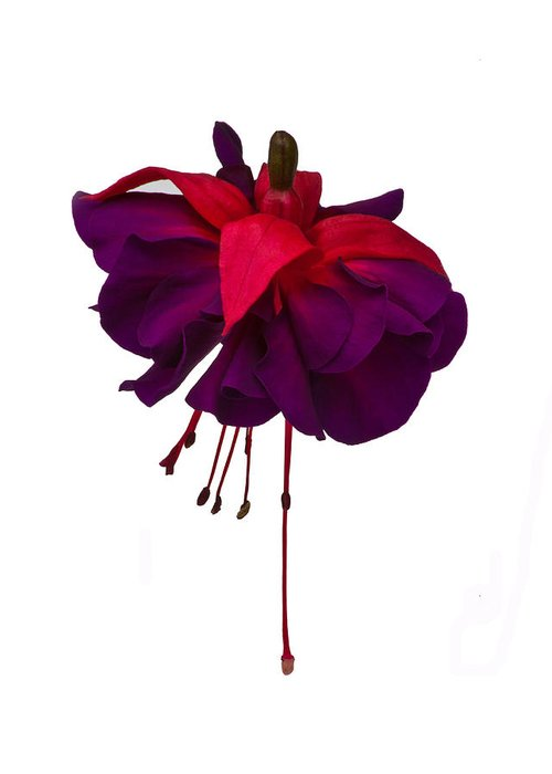 Fuchsia Greeting Card featuring the photograph Fuchsia On White by Dawn OConnor