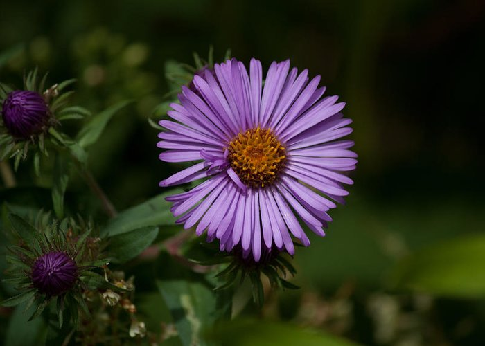 Purple Greeting Card featuring the photograph Full Aster by Jessica Lowell