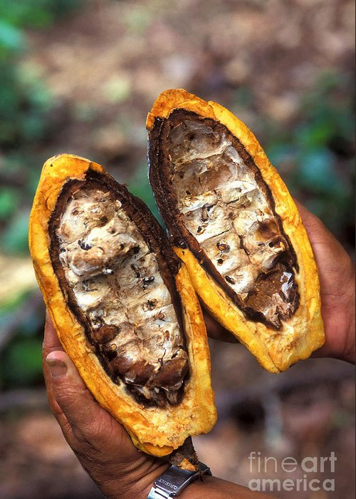 Farmer Greeting Card featuring the photograph Fungal Infection Of Cacao by Science Source