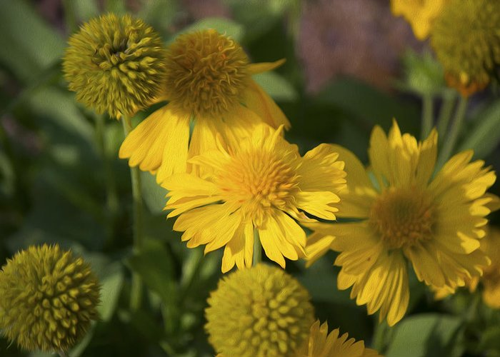 Flower Greeting Card featuring the photograph Gaillarde Mesa Yellow by Michel DesRoches