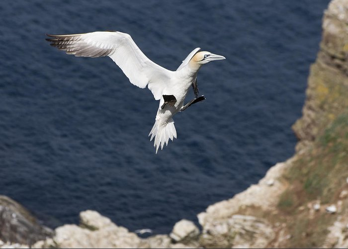 Animals Greeting Card featuring the photograph Gannet Landing by Howard Kennedy