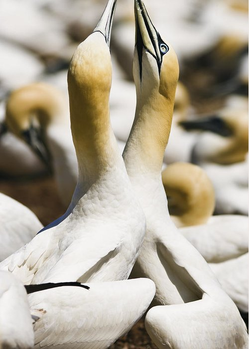 Animals In The Wild Greeting Card featuring the photograph Gannets, Parc National De by Yves Marcoux