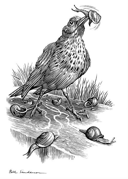 Animal Greeting Card featuring the photograph Garden Bird Catching Snails, Artwork by Bill Sanderson