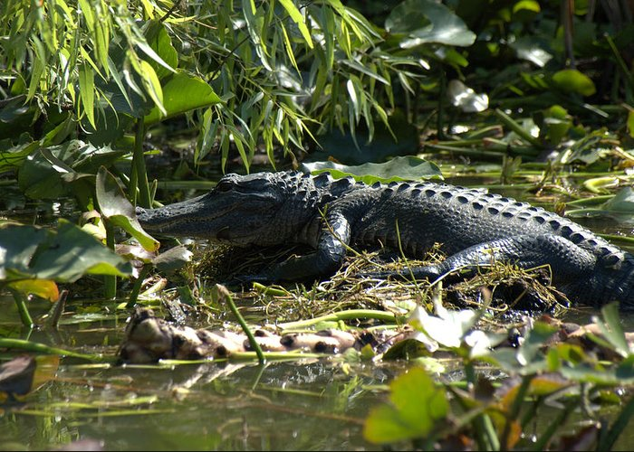 Wildlife Greeting Card featuring the photograph Gator Time by Al Cash