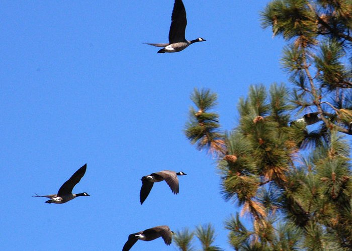 Tahoe Greeting Card featuring the photograph Geese In Tahoe by Ernie Claudio
