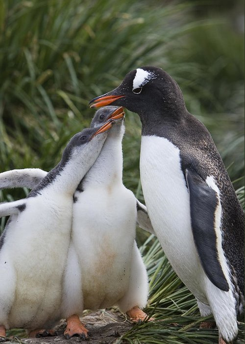 00761859 Greeting Card featuring the photograph Gentoo Penguin Parent And Two Chicks by Suzi Eszterhas