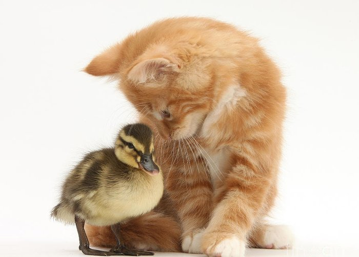 Nature Greeting Card featuring the photograph Ginger Kitten And Mallard Duckling by Mark Taylor