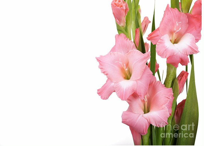 Arrangement Greeting Card featuring the photograph Gladioli On White by Jane Rix
