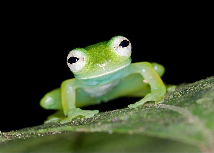 Frog Greeting Card featuring the photograph Glass Frog 01 by Brian Lee