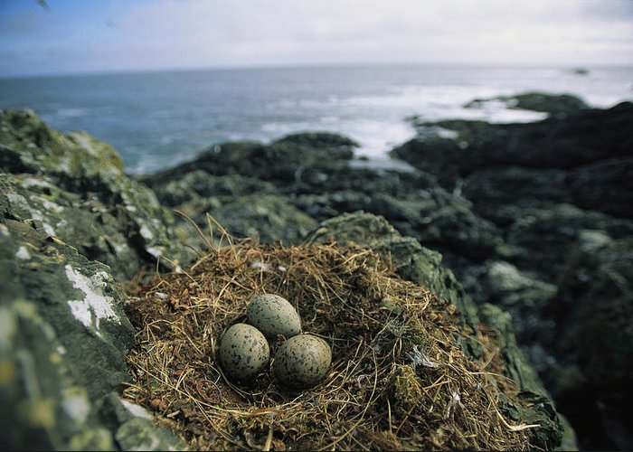 North America Greeting Card featuring the photograph Glaucous-winged Gull Nest With Three by Joel Sartore