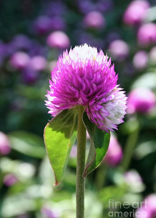 Outdoors Greeting Card featuring the photograph Glowing Globe Amaranth by Susan Herber