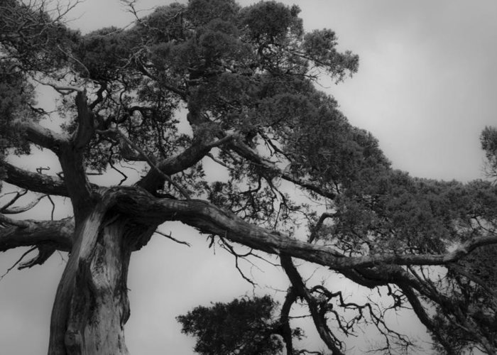 Appomattox Greeting Card featuring the photograph Gnarly Cedar Tree by Teresa Mucha