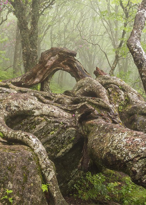 Gnarly Greeting Card featuring the photograph Gnarly Old Tree In Fog Along The Blue Ridge Parkway by Bill Swindaman