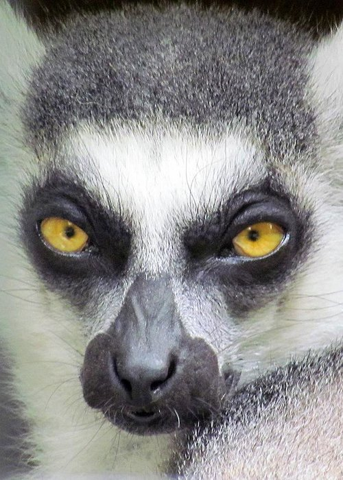 Lemur Greeting Card featuring the photograph Go Ahead--make My Day by Lori Pessin Lafargue