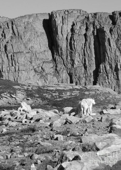 Mount Evans Greeting Card featuring the photograph Goat Herd On Mount Evans by David Bearden