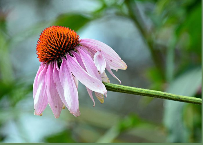 Coneflower Greeting Card featuring the photograph Going Solo by Fraida Gutovich