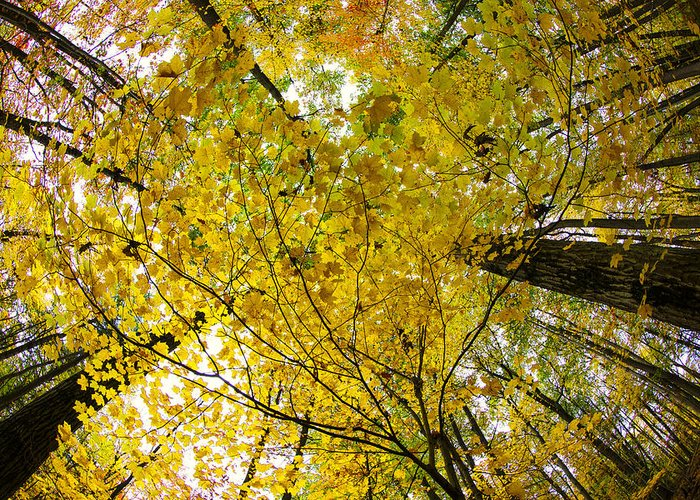 Autumn Photographs Greeting Card featuring the photograph Golden Canopy by Rick Berk
