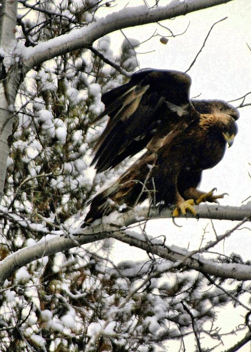 Eagles Greeting Card featuring the photograph Golden Eagle Stretching by Don Mann