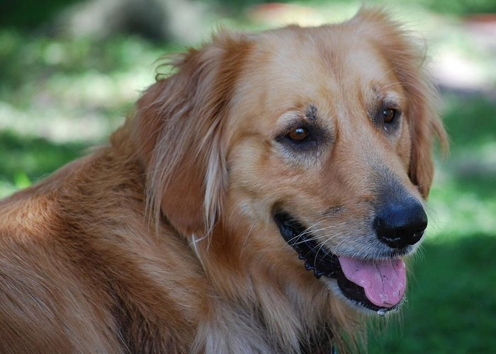 Golden Greeting Card featuring the photograph Golden Retriever by Carrie Munoz