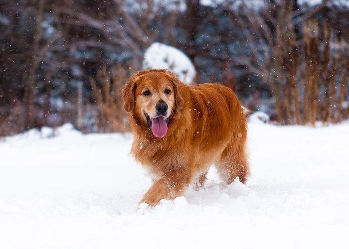 Dog Greeting Card featuring the photograph Golden Retriever by Matt Dobson