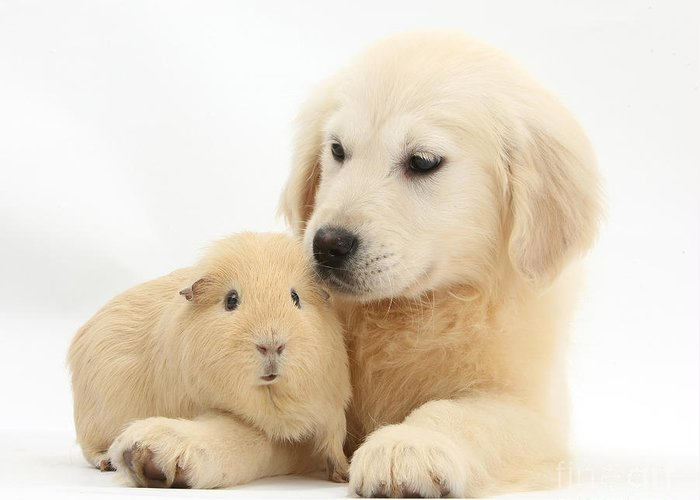 Nature Greeting Card featuring the photograph Golden Retriever Pup And Yellow Guinea by Mark Taylor