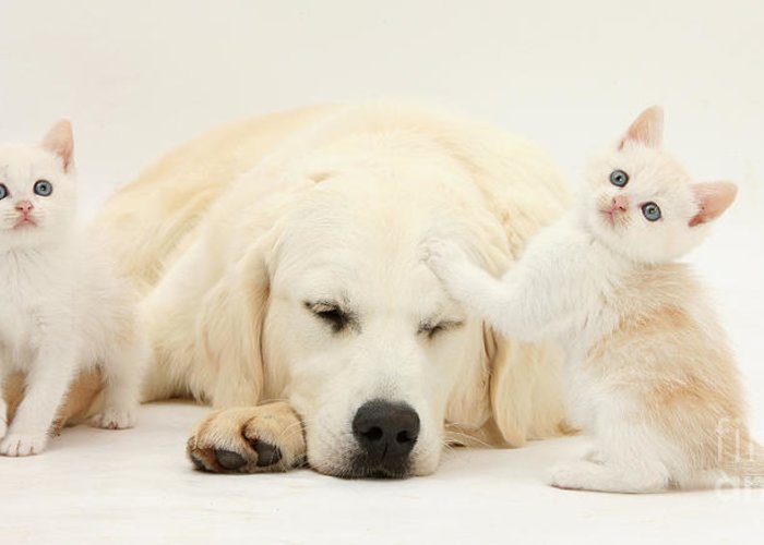 Nature Greeting Card featuring the photograph Golden Retriever With Two Kittens by Mark Taylor