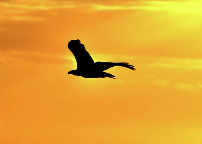 Eagle Greeting Card featuring the photograph Golden Sunrise Eagle by Lisa Hollingsworth