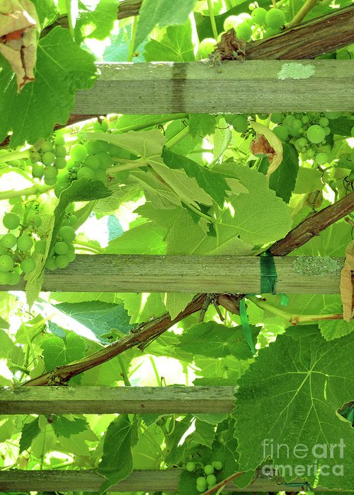 Grape Arbor Greeting Card featuring the photograph Grape Arbor by Methune Hively
