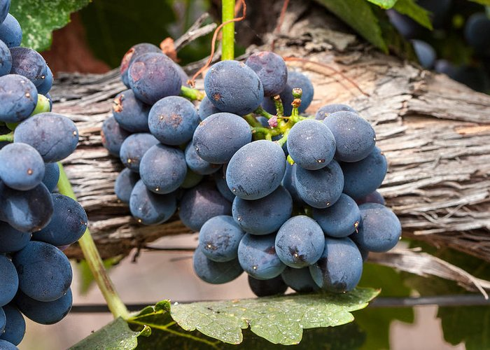 Grape Greeting Card featuring the photograph Grape Cluster Vine by Dina Calvarese