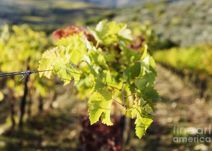Agriculture Greeting Card featuring the photograph Grape Leaves by Jeremy Woodhouse