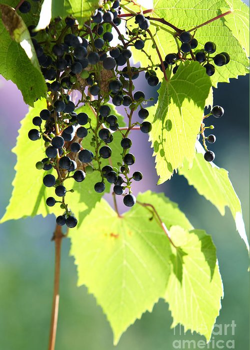 Detail Greeting Card featuring the photograph Grapes And Leaves by Michal Boubin