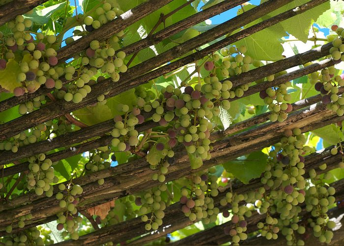 Nobody Greeting Card featuring the photograph Grapes Grow On Vines Draped by Heather Perry