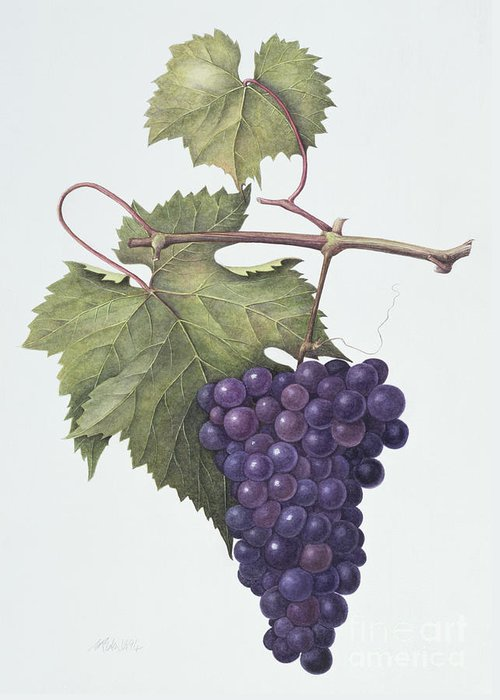 Bunch; Fruit; Purple; Red; Grape; Still Life; Branch; Grapes; Leaf; Leafs Greeting Card featuring the painting Grapes by Margaret Ann Eden