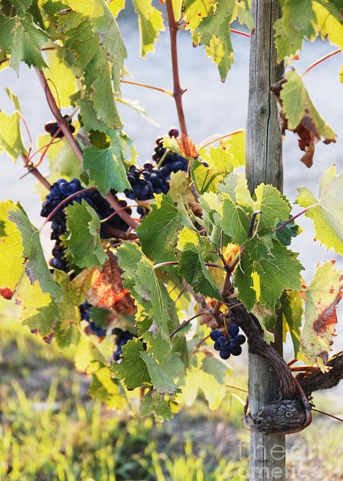 Agriculture Greeting Card featuring the photograph Grapes On Vine by Jeremy Woodhouse
