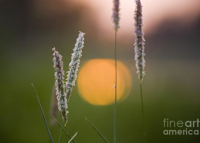 Heiko Greeting Card featuring the photograph Grass Blooming by Heiko Koehrer-Wagner