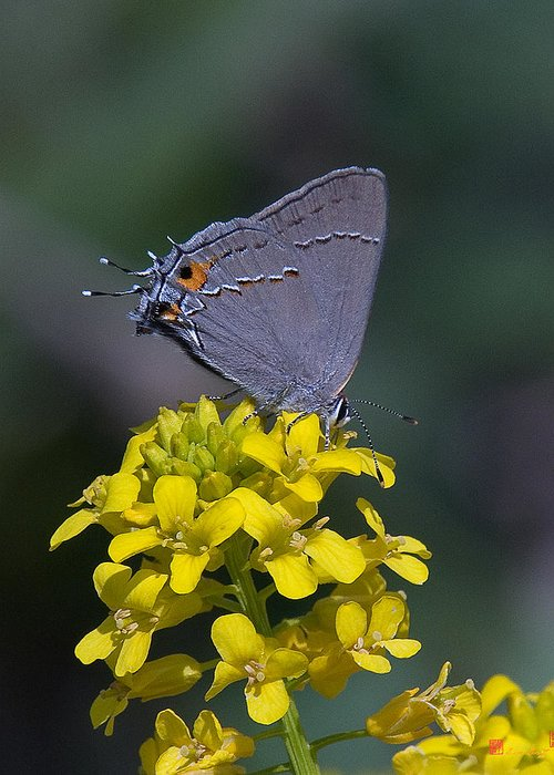 Nature Greeting Card featuring the photograph Gray Hairstreak Butterfly Din044 by Gerry Gantt