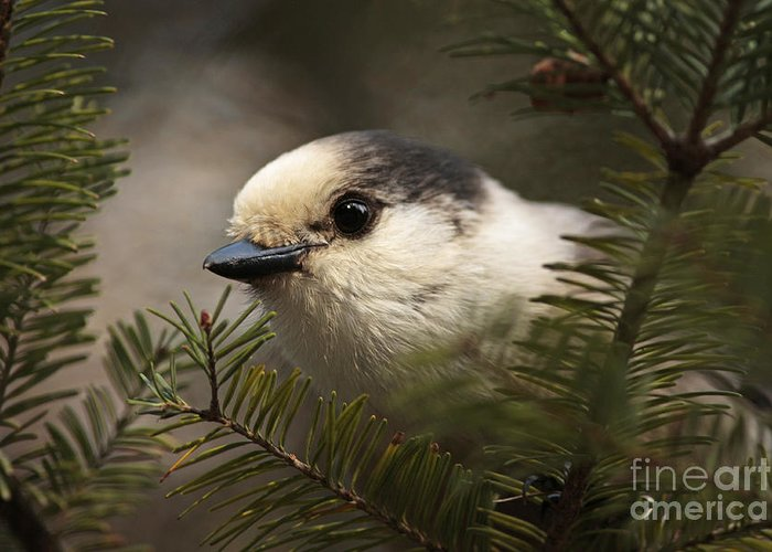 Art Canvas Print Greeting Card featuring the photograph Gray Jay Playing Peek A Boo by Inspired Nature Photography Fine Art Photography