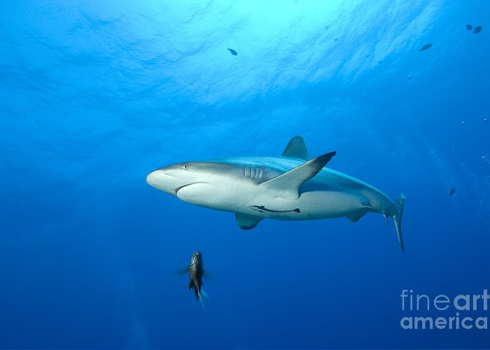 English Reef Greeting Card featuring the photograph Gray Reef Shark. Papua New Guinea by Steve Jones